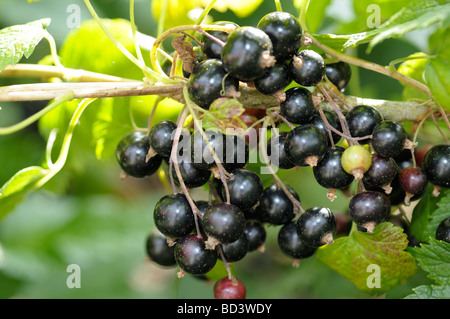Blackcurrant's on bush - Stock Photo