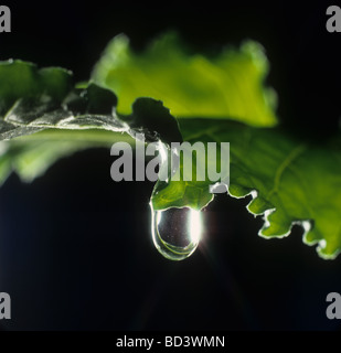 Water droplet on the edge of a sugar beet leaf - Stock Photo