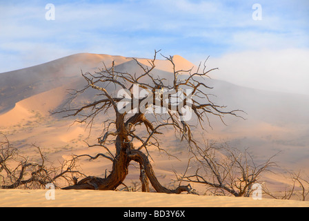 Dead camelthorn tree acacia erioloba against sand dune of the southern Namib Desert in Namibia, near Koichab pan - Stock Photo
