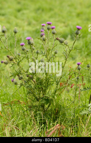 Spear Thistle, Cirsium vulgare, wildflower in grassland meadow, Scotland - Stock Photo