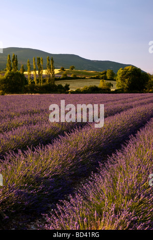 Lavender field with hills and farm land beyond near Sault, Provence France - Stock Photo