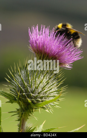 Bumblebee, Bombus sp., feeding on a Spear Thistle, Cirsium vulgare, wildflower in grassland meadow, Scotland - Stock Photo