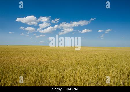 Golden wheat growing in western Nebraska thresher on horizon breadbasket of USA - Stock Photo