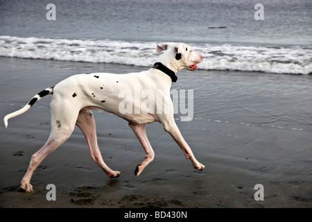 Great Dane  running at beach.