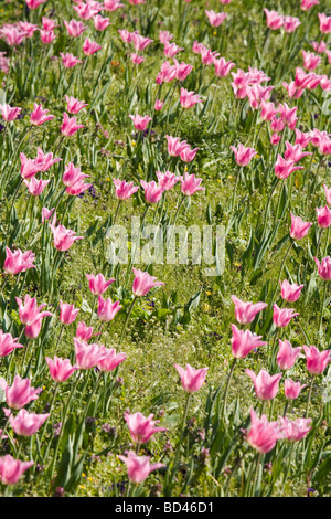 Pink tulips in a garden flower bed - Stock Photo