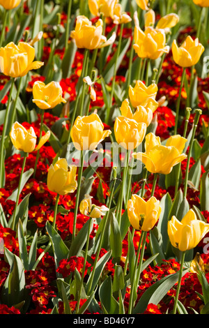 Red primroses and yellow tulips in a flower bed - Stock Photo