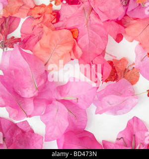 Pink petals scattered on a white background - Stock Photo