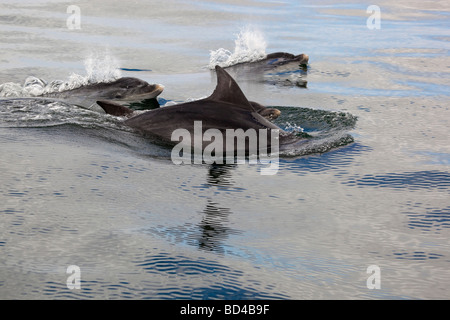 pod of bottlenose dolphins Tursiops truncatus - Stock Photo
