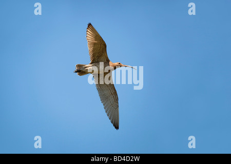 curlew Numenius arquata in flight - Stock Photo