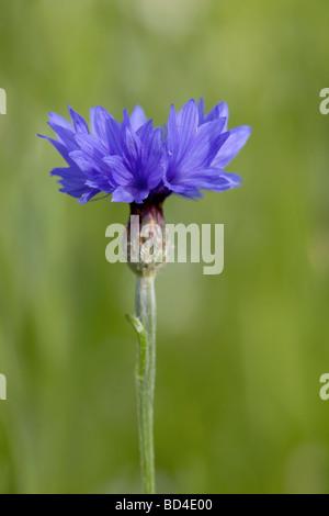 cornflower Centaurea cyanus - Stock Photo