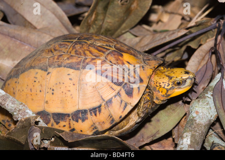 Indochinese Flowerback Box Turtle (Cuora galbinifrons). Head forelimbs emerging from between upper and lowered shell, - Stock Photo