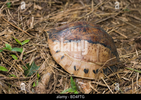 Indochinese Flowerback Box Turtle (Cuora galbinifrons). On the forest floor. Head and limbs withdrawn into the shell. - Stock Photo