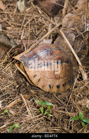 Flowerback or Indochinese Box Turtle (Cuora galbinifrons). Shell closed, plastron or undershell raised. - Stock Photo