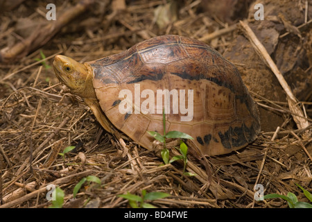 Indochinese Flowerback Box Turtle (Cuora galbinifrons). Head emerging from between upper and lowered shell, or plastron, - Stock Photo