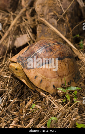 Flowerback Box Turtle (Cuora galbinifrons). Head and a forelimb emerging from between upper and lowered shell, plastron, - Stock Photo