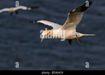 Northern Gannet (Morus bassanus, formerly Sula bassana), rspb bempton cliffs,  uk - Stock Photo