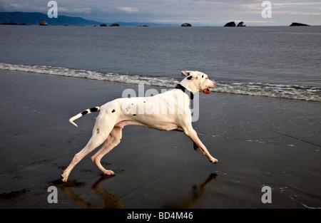 Great Dane, running at beach .