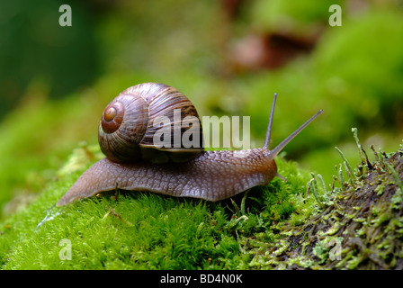 (Helix pomatia) edible snail macro - Stock Photo
