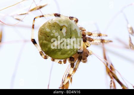 Garden-spider (Araneus quadratus) macro. - Stock Photo
