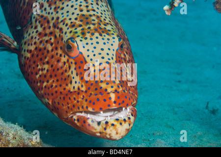REALLY HUGE coral grouper  (Plectropomus pessuliferus marisrubri) - Stock Photo
