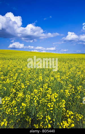 Canola field and cumulus clouds on the Canadian Prairie, Pembina Valley, Manitoba, Canada. - Stock Photo