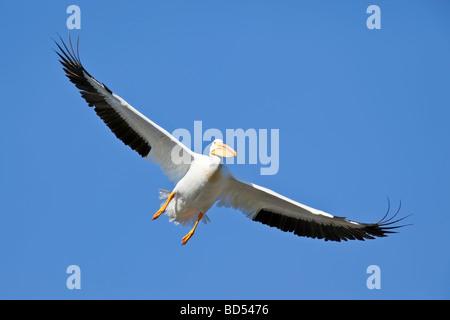 American White Pelican or Rough-billed Pelican (Pelecanus erythrorhynchos), in flight - Stock Photo