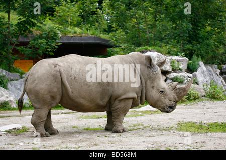 White Rhinoceros, Square-lipped Rhinoceros (Ceratotherium simum), male at Hellbrunn Zoo, Salzburg, Austria - Stock Photo