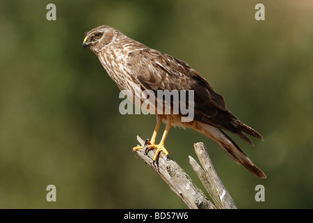 Hen Harrier, Northern Harrier (Circus cyaneus), female perched on dead branch - Stock Photo
