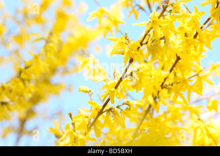 charming yellow forsythia stems in a contemporary style fine art photography Jane Ann Butler Photography JABP523 - Stock Photo