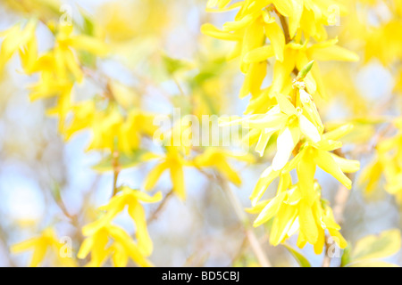 charming yellow forsythia stems in a contemporary style fine art photography Jane Ann Butler Photography JABP525 - Stock Photo