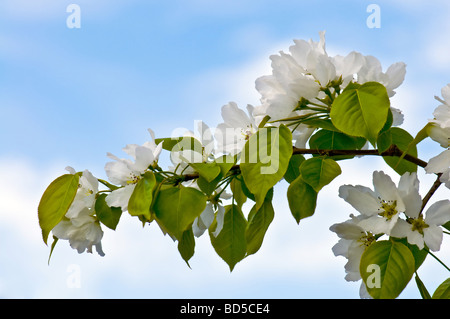 Blossoms apple tree flowers on blue - Stock Photo