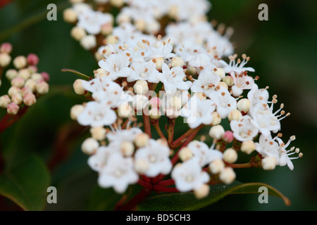 evergreen viburnum pink buds with clusters of white flowers fine art photography Jane Ann Butler Photography JABP528 - Stock Photo