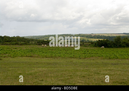 A View Over Ashdown Forest East Sussex With Sheep Grazing In The Foreground - Stock Photo