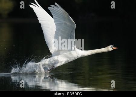 Mute Swan taking off - Stock Photo