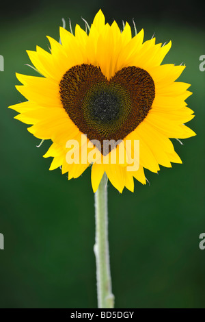 Sunflower (Helianthus annuus) with tubular flowers in heart shape - Stock Photo