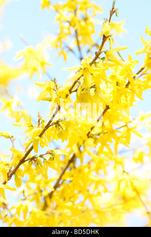 charming yellow forsythia stems in a contemporary style fine art photography Jane Ann Butler Photography JABP524 - Stock Photo
