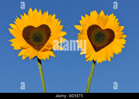 Sunflowers (Helianthus annuus) with tubular flowers in heart shape - Stock Photo