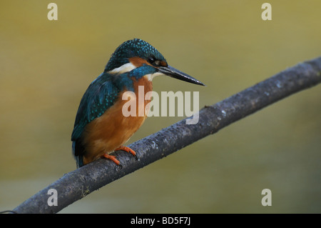 Perched Kingfisher - Stock Photo