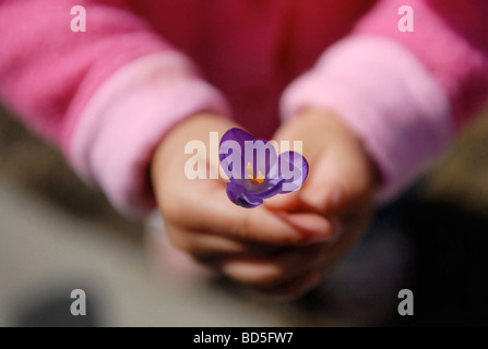 A child with pink sleeves holds a hardy perennial purple springtime crocus bloom in her hands. - Stock Photo