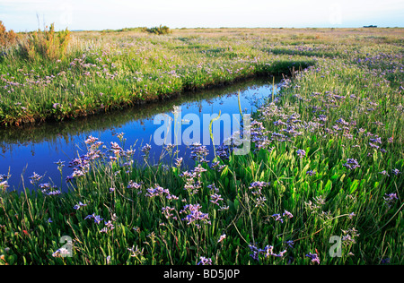 Common sea-lavender Limonium vulgare in habitat on salt-marsh at Stiffkey, Norfolk, United Kingdom. - Stock Photo