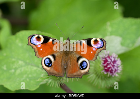 Peacock butterfly (Inachis io) settled with wings open on a burdock flower - Stock Photo