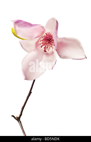 Magnolia Jane Blossoms in pink and white - Stock Photo