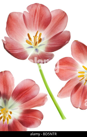 red tulip flowers background - Stock Photo