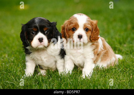 Cavalier King Charles Spaniel puppies blenheim and tricolour 5 weeks - Stock Photo