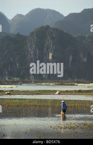 Woman walking in flooded rice fields with limestone karsts in background Tam Coc Ninh Binh Province Northern Vietnam - Stock Photo