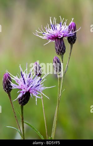 Saw-wort flowers Serratula tinctoria - Stock Photo