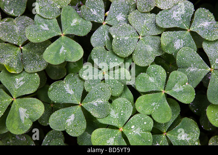 Oxalis, raindrops, growing in Redwood Forest. - Stock Photo