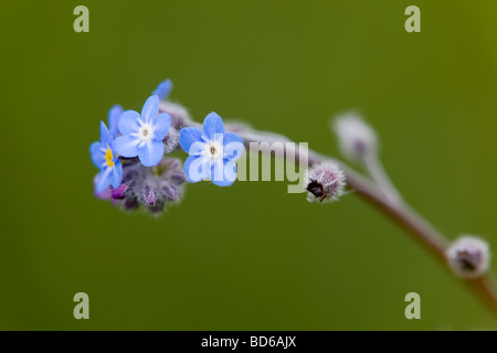 field forget me not Myosotis arvensis - Stock Photo