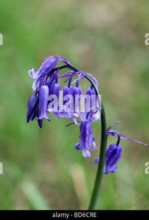 Close up of a Common Bluebell Hyacinthoides non-scripta - Stock Photo