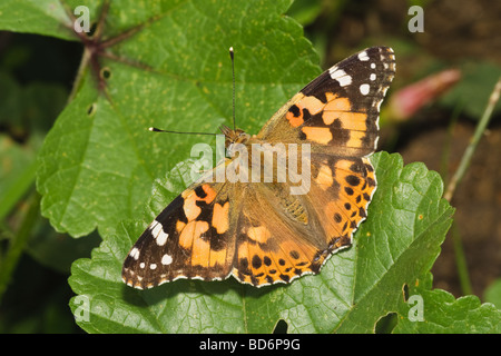 A Painted Lady butterfly (Cynthia cardui) basking, Cambridgeshire, England, UK - Stock Photo